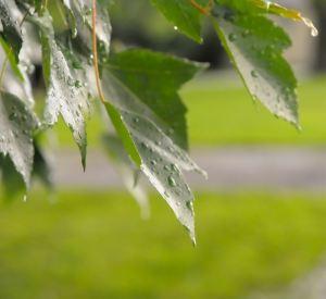 Leaves anticipate the rain
